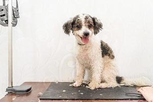 lindo cachorro bichon frise branco e preto sendo preparado por um tratador profissional foto