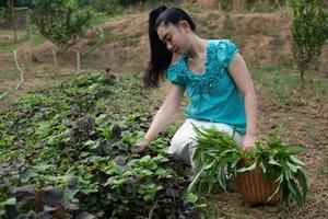 mulheres em sua horta, bela jovem jardineira mulher asiática com uma cesta com vegetais de espinafre colhidos na hora em jardins foto