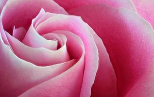 jardim rosa rosa macro close up foto