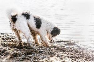 lindo adorável cachorro bichon frise cavando areia perto do rio foto