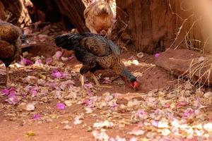 frango animal doméstico foto