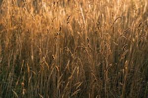 campo lindo prado com planta seca e concurso aveia sol dourado inspirador cópia espaço. foto