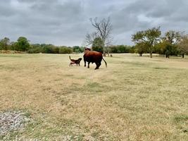 cão pastor com touro angus em uma pastagem com espaço de cópia foto