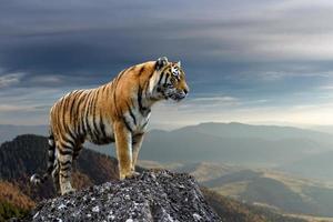 tigre fica em uma rocha contra o pano de fundo da montanha ao anoitecer foto
