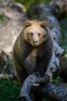 bebê filhote urso marrom selvagem na árvore na floresta de outono. animal em habitat natural foto