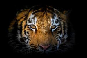 retrato de tigre em um fundo preto. vista da escuridão foto