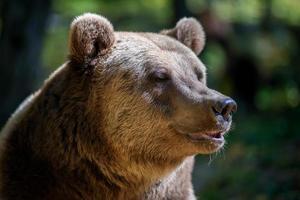 retrato selvagem urso pardo na floresta de outono. animal em habitat natural. cena da vida selvagem foto