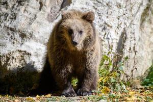bebê filhote urso-pardo selvagem na floresta de outono. animal em habitat natural foto