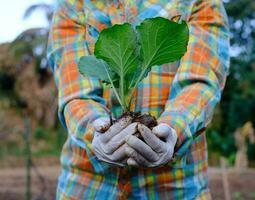 jardineiro mão segurando mudas de repolho vegetal na fazenda orgânica foto
