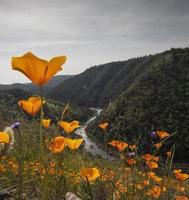 california poppies e south fork american river foto