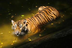 Tigre de bengala foto