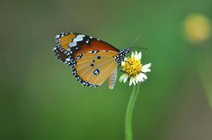 borboleta, lepidoptera, besouros, mariposa