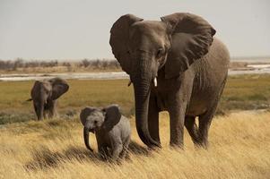 mãe elefante com bebê, poço de água de okerfontein, etosha nationa