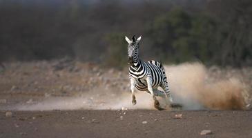 zebra em execução foto