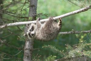 guaxinim bebê na árvore foto