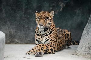 onça-pintada (panthera onca) foto