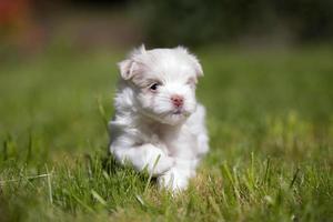 filhote de cachorro maltês bonito correndo foto