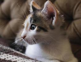 gato doméstico foto