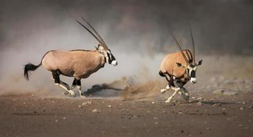 perseguição gemsbok foto