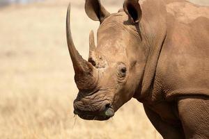 rinoceronte branco, diceros simus foto