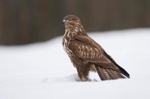 urubu comum no inverno foto