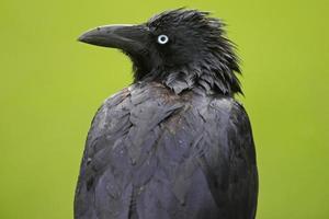 Raven foto