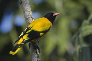 pássaro oriole com capuz preto em full frame, nepal foto