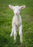 lamb3 foto