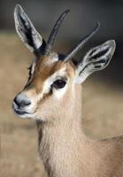 gazella dorcas foto
