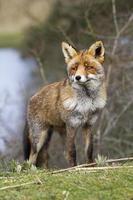 raposa corajosa foto