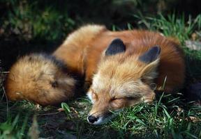 peluda raposa vermelha dormindo no campo de grama foto