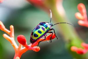 lichia escudo bug (chrysocoris stolli, scutelleridae) foto