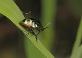 bug escudo