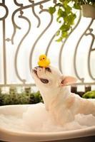 buldogue francês em um banho com pato de borracha foto
