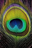 cauda de pavão