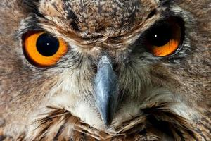 olhos de coruja foto