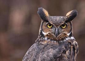 grandes orelhas de coruja com chifres foto