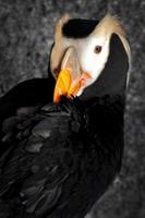 retrato de papagaio-do-mar adornado foto