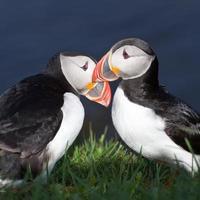 papagaio-do-mar em latrabjarg foto
