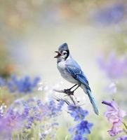 gaio azul no jardim foto