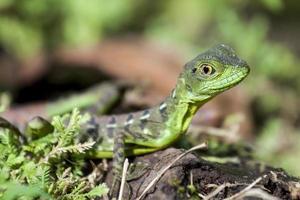 lagartixa verde foto