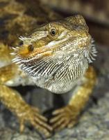 retrato de um dragão barbudo de répteis tropicais exóticos. selectiv foto