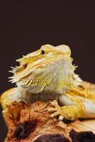 dragão barbudo central de fase amarela foto