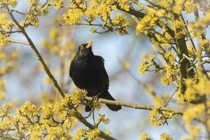 melro (turdus merula) cantando em uma árvore foto