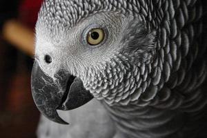 yaco loro gris - papagaio cinzento foto