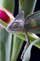 camaleão na folha foto