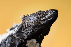 iguana de cauda espinhosa foto