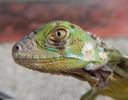 iguana verde juvenil foto