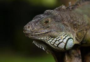 iguana grande foto