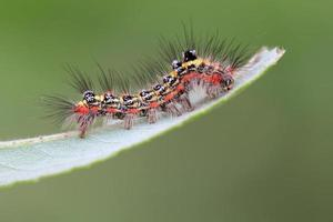 larva de borboleta em uma folha parece muito terrível foto